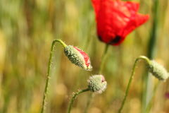 红色鸦片花蕾 图库摄影