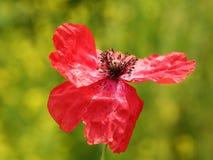 红色鸦片花 库存照片