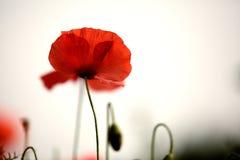 红色鸦片花 库存图片