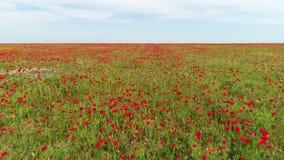 红色鸦片领域在一夏天好日子,俄罗斯鸟瞰图  ?? 开花的红色花和绿草在蓝色 股票视频