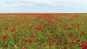 红色鸦片领域在一夏天好日子,俄罗斯鸟瞰图  ?? 开花的红色花和绿草在蓝色 股票录像