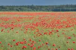 红色鸦片领域在夏天 库存图片