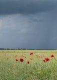 红色鸦片领域在夏天 免版税库存照片