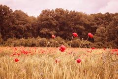红色鸦片领域用在日落薄雾的麦子 图库摄影