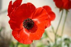 红色鸦片头状花序 库存图片