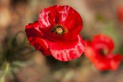 红色鸦片 美丽的花 美丽 库存图片