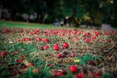 红色鹅莓下跌对地面 库存图片
