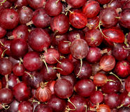 红色鹅莓作为背景 免版税库存照片