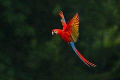 红色鹦鹉在雨中 金刚鹦鹉在深绿植被的鹦鹉飞行 猩红色金刚鹦鹉, Ara澳门,在热带森林里,哥斯达黎加,野生生物 图库摄影