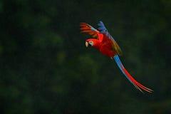 红色鹦鹉在雨中 金刚鹦鹉在深绿植被的鹦鹉飞行 猩红色金刚鹦鹉, Ara澳门,在热带森林里,哥斯达黎加,野生生物 库存照片