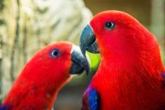 红色鹦鹉夫妇  免版税库存图片