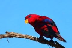 红色鹦鹉 免版税库存照片