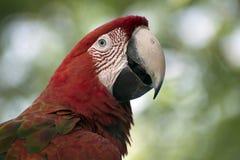 红色鹦鹉 免版税图库摄影