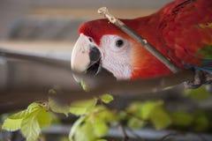 红色鹦鹉 库存图片