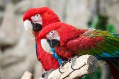 红色鹦鹉ara 库存照片