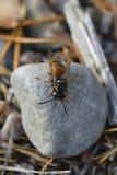 红色黄蜂 免版税库存图片