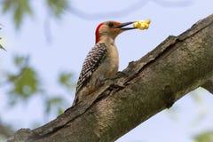 红色鼓起的啄木鸟用玉米花 库存图片