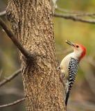 红色鼓起的啄木鸟, Melanerpes carolinus 免版税库存照片