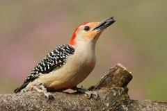 红色鼓起的啄木鸟 库存照片