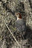 红色鼓起的木啄木鸟 免版税库存图片