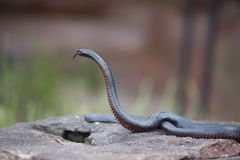 红色鼓起的黑蛇 免版税库存图片
