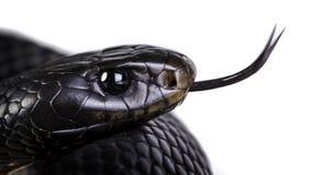 红色鼓起的黑蛇 库存图片