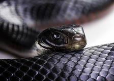 红色鼓起的黑蛇 免版税库存照片