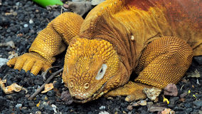 红色龙。土地鬣鳞蜥。加拉帕戈斯群岛,厄瓜多尔 免版税库存照片