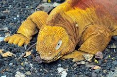 红色龙。土地鬣鳞蜥。Conolophus subcristatus 免版税图库摄影
