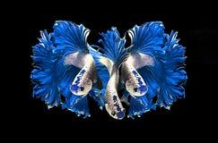 红色龙暹罗战斗的鱼,在黑b隔绝的betta鱼 库存照片