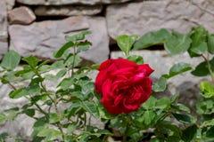 红色,在一个石墙附近的美丽的玫瑰色开花 库存照片
