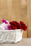 红色,桃红色和白色康乃馨花 免版税库存图片