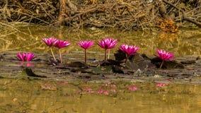 红色,桃红色莲花在池塘 免版税库存图片