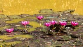 红色,桃红色莲花在池塘 免版税图库摄影