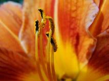 红色,橙色花宏指令与花粉的在花药 图库摄影