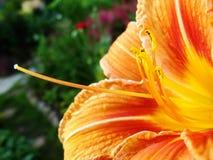红色,橙色花宏指令与花粉的在花药 库存图片