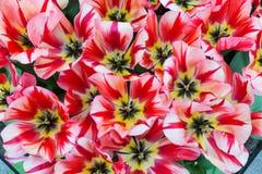 红色,白色和黄色郁金香开花特写镜头宏指令顶视图  库存图片