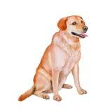 红色,白色拉布拉多猎犬品种猎狗,白色背景的实验室水彩画象  手拉的宠物 免版税图库摄影