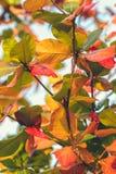 红色,绿色橙色秋叶背景 热带叶子背景 可视巴厘岛美丽的印度尼西亚海岛kuta人连续形状日落的城镇 库存照片