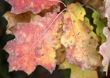 红色,黄色和绿色橡木离开作为自然秋天背景 免版税图库摄影