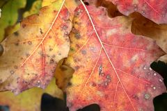 红色,黄色和绿色橡木离开作为自然秋天背景 库存图片