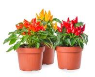 红色,黄色,橙色辣椒植物在罐的隔绝了o 免版税图库摄影