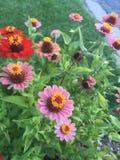 红色,黄色和桃红色花 免版税库存照片