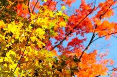 红色,绿色和黄色槭树在秋天离开 免版税库存图片