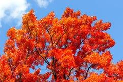 红色,绿色和黄色槭树在秋天离开 库存图片