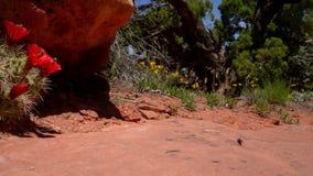 红色仙人掌开花Canyonlands犹他 图库摄影