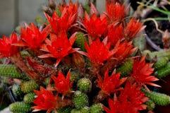 红色仙人掌 库存图片