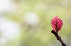 红色年轻叶子 免版税库存图片