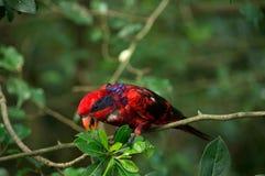 红色黑和蓝色用羽毛装饰与黑条纹的鸟在拿着和吃绿色树叶子的头 库存图片