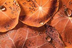红色满地露水的叶子 免版税库存图片